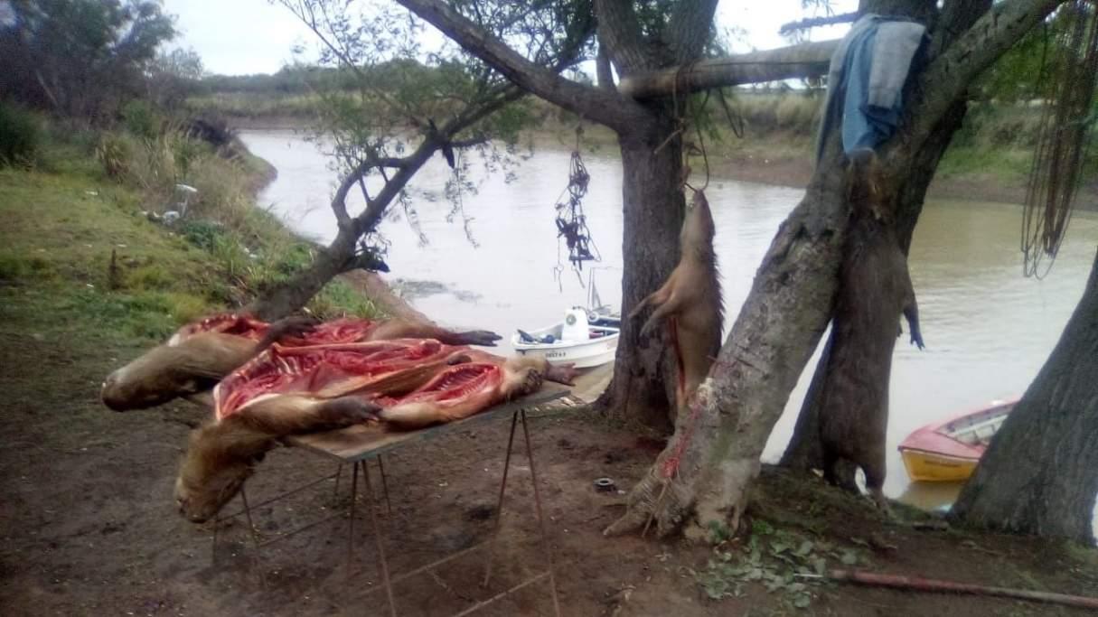 Desbaratan una banda de cazadores de carpinchos en el Delta