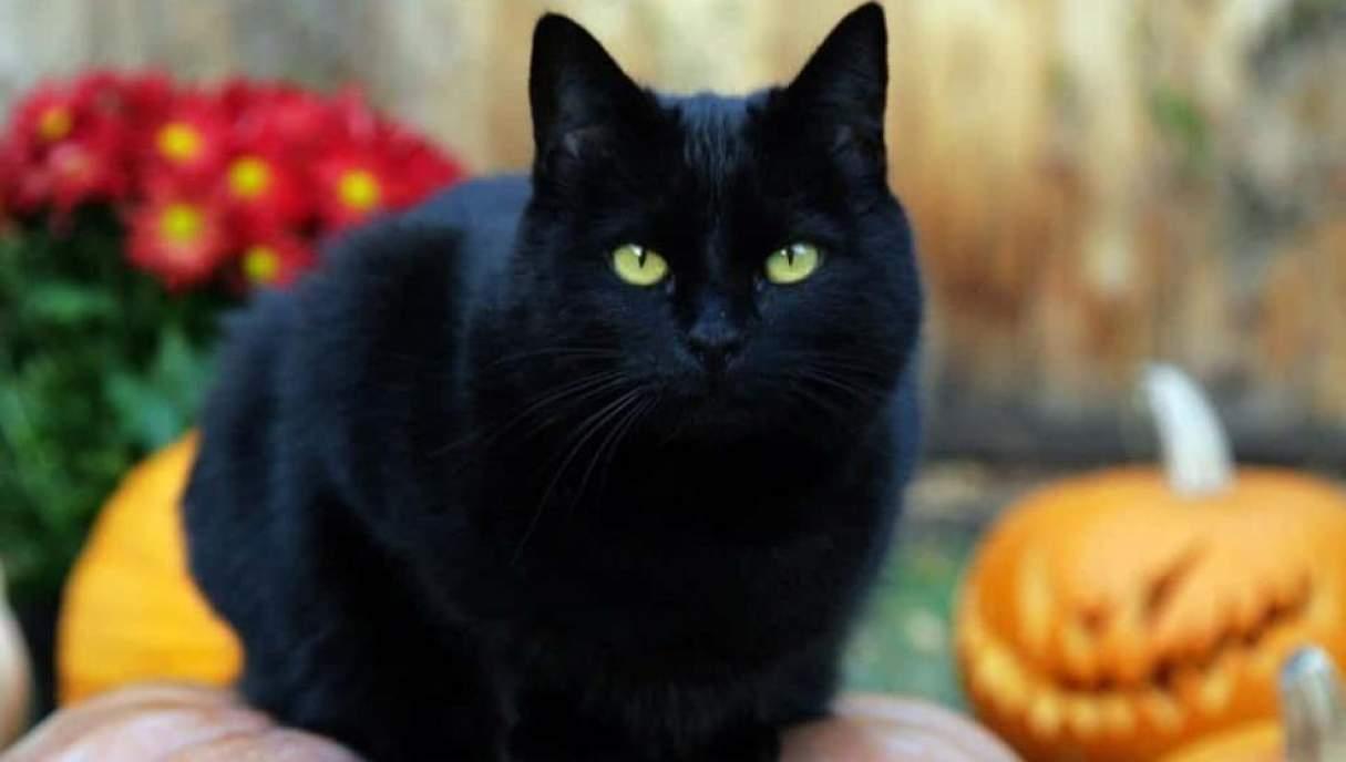 El sacrificio de los gatos negros en Halloween