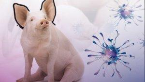 Traferri presentó un proyecto para proteger la industria porcina en Santa Fe